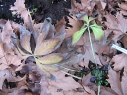 Pianta di Helleborus croaticus a fine inverno.