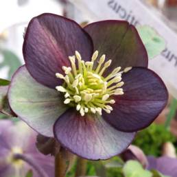 il classico fiore viola dell'Helleborus croaticus