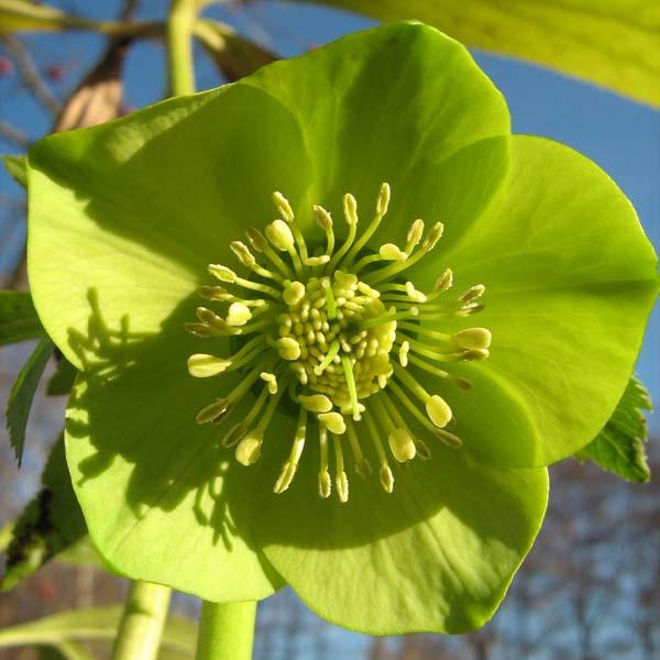 Fiore della specie Helleborus cyclophyllus