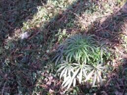 Giovane pianta di Helleborus foetidus
