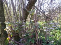 Helleborus lividus