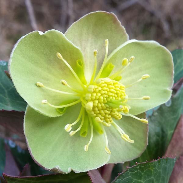 Fiore dell'Helleborus lividus