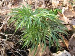 Giovane pianta di Helleborus multifidus subsp. hercegovinus