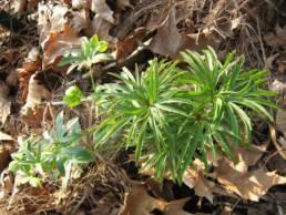 Pianta fiorita di Helleborus multifidus subsp. hercegovinus