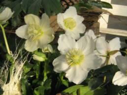 Fioritura di una pianta in vaso di Helleborus niger (Rosa di Natale)