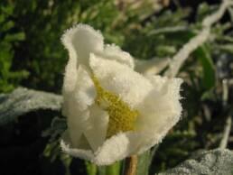 Fiore congelato di Helleborus niger o Rosa di Natale