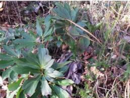 Pianta spontanea di Helleborus niger o Rosa di Natale