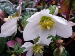 Fiori di Helleborus niger o Rosa di Natale