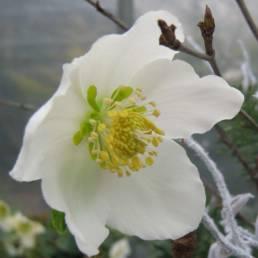 Fiore dell'Helleborus niger
