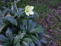 Pianta di Helleborus occidentalis