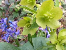 fiore e frutto di Helleborus odorus