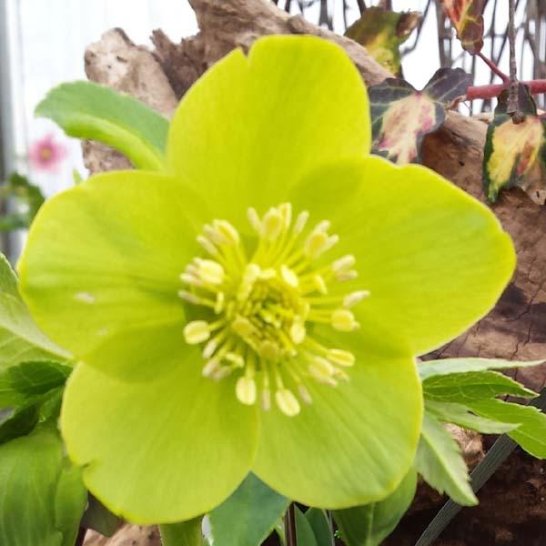 fiore di Helleborus odorus