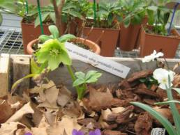 Helleborus orientalis subsp orientalis
