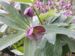 Helleborus-purpurascens