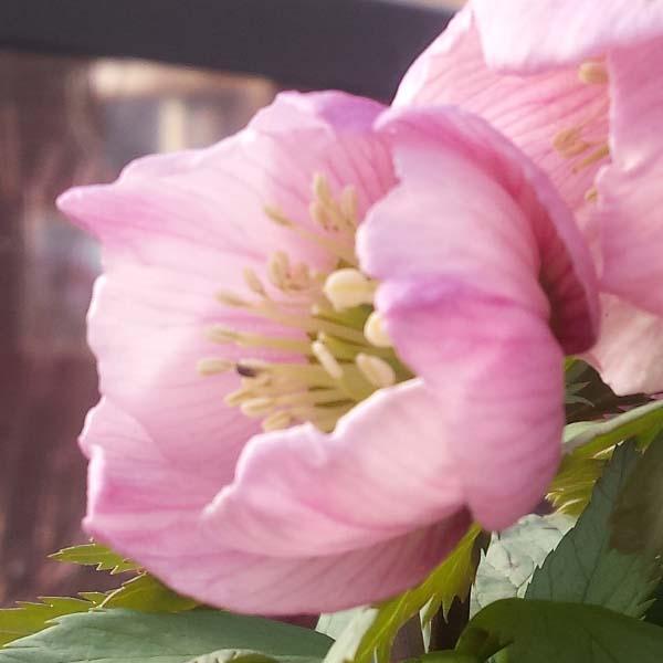 Fiore dell'Helleborus thibetanus