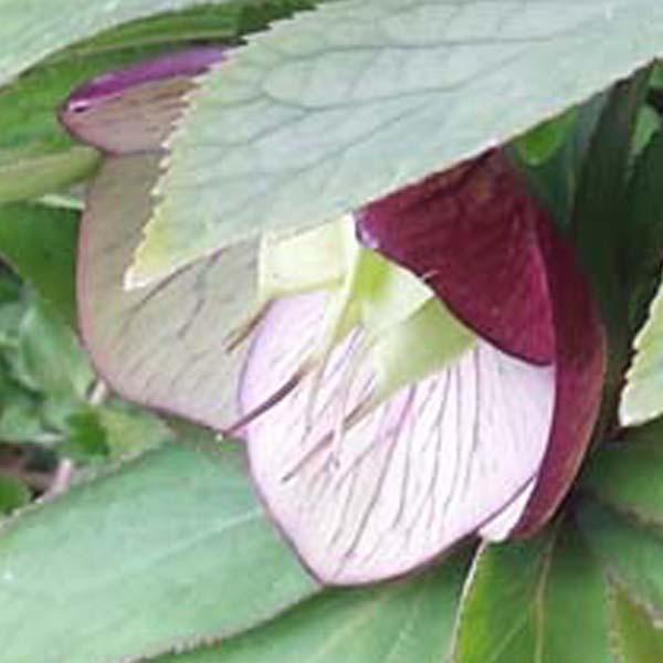 Fiore dell'Helleborus torquatus
