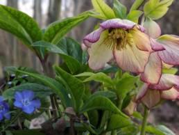 Viasta laterale del fiore dell'Helleborus x hybridus Anja Oudolf
