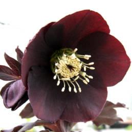 E' difficile trovare in natura dei fiori con queste tonalità di colore.