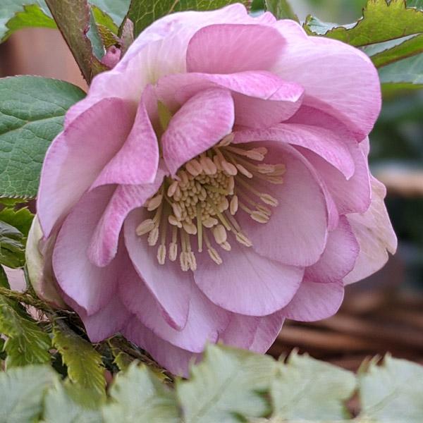 Elleboro Doppio Rosa; bello e armonioso