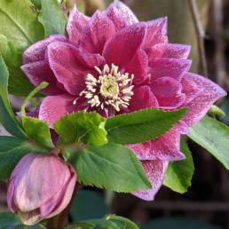 Clone Elly. Un bel fiore doppio porpora con bordo dei sepali rosa.