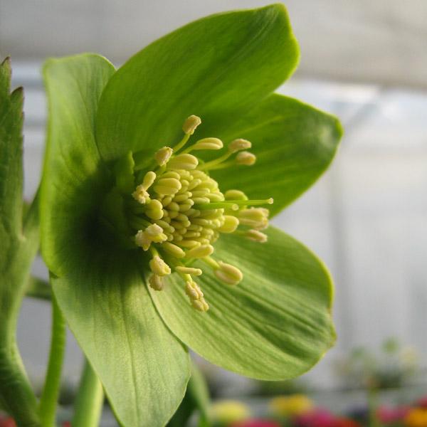 Fiore di Elleboro semplice di colore verde.