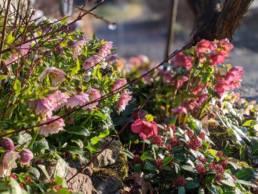 Pianta dell'Helleborus x hybridus Loren