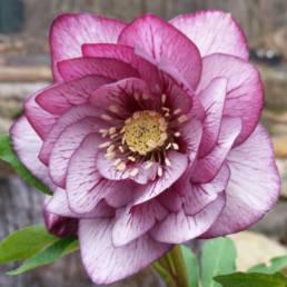 Affascinante ed esotico fiore della varietà Picotee
