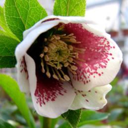Elleboro bianco con macchia nella parte centrale del fiore