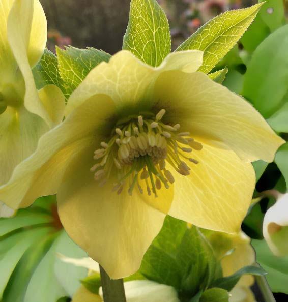 Questa varietà si presenta con eleganti e delicati fiori color crema