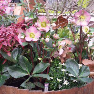 Helleborus Ice N Roses rose in composizione