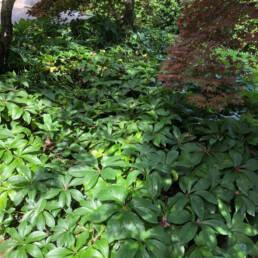 Helleborus x hybridus usato in aiuola come coprisuolo