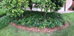 Helleborus x hybridus usato come coprisuolo
