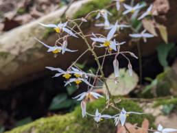 Epimedium stellatum