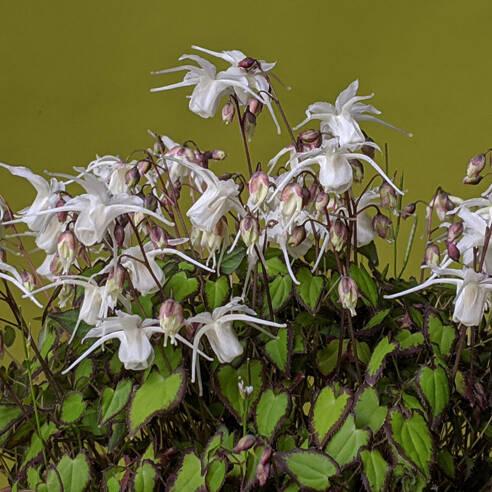 Epimedium grandiflorum var. higoense 'Bandit'