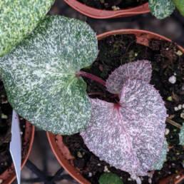 Helleborus argutifolius variegato