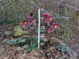 Althezza della pianta della varietà 'Anna's Red'