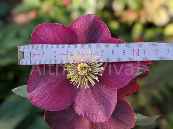 misurazione del diametro del fiore dell'Elleboro Anna's Red