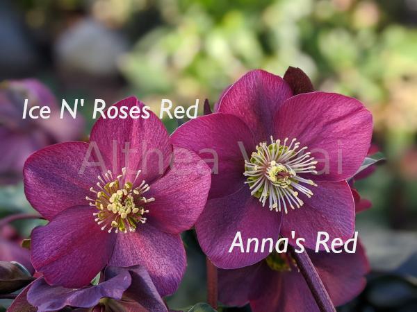 Confronto tra il fiore di Anna's Red e H. glandorfensis 'Red'.