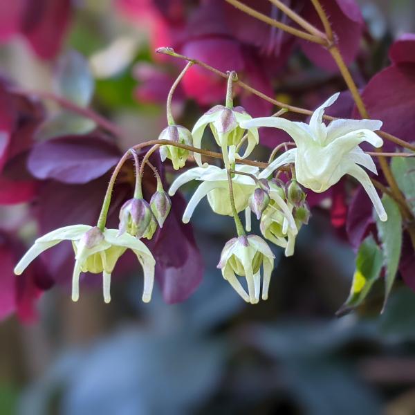 Fiori e piante in vendita di Epimedium f. flavescens 'La Rocaille'